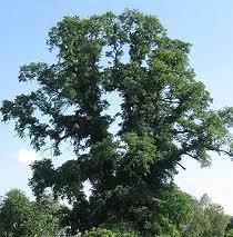 """Ulmul din Căpeni, un copac din judeţul Covasna în vârstă de 300 de ani care candidează alături de alţi 11 din ţară pentru titlul de """"Arborele anului"""", conduce detaşat competiţia organizată de Fundaţia pentru parteneriat din Miercurea Ciuc."""
