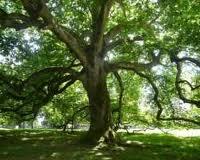 Competiţa Arborele Anului a intrat în linie dreaptă, câştigătorul urmând a fi aflat în următoarele  zile