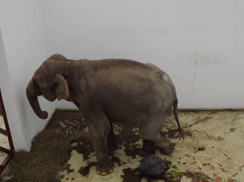 Elefantul Tania a ajuns la Grădina Zoo din Tîrgu-Mureş