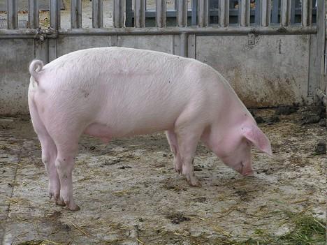 Medicii veterinari se pregătesc pentru sezonul sacrificării porcilor