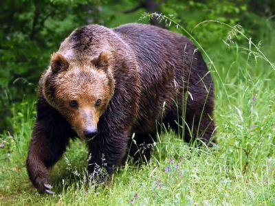 O familie de urşi şi-a făcut apariţia la Platoul Corneşti din Tîrgu-Mureş