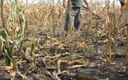 În judeţul Covasna, proprietarii hectarelor de culturi agricole distruse de mistreţi nu pot fi despăgubiţi