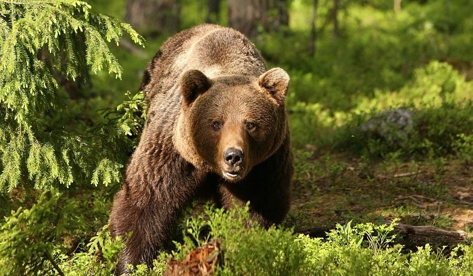 Urşii din zona Ghindari, judeţul Mureş, continuă să provoace pagube însemnate
