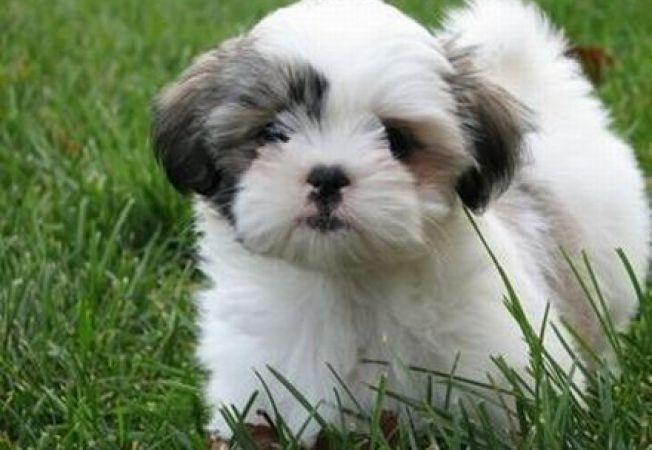 Termenul limită obligatoriu pentru microciparea câinilor ar putea fi prelungit