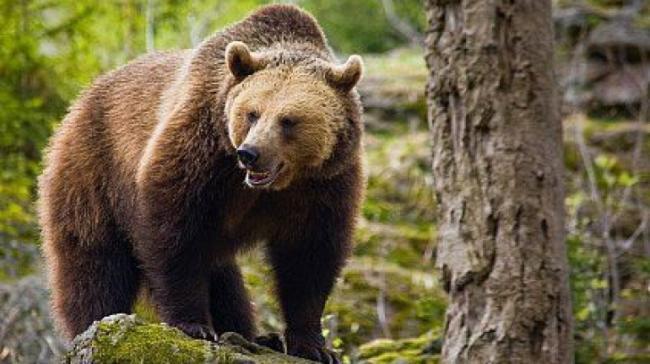Ursul din Harghita a intrat din nou în gospodăriile oamenilor