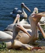 pelicani badorgood com