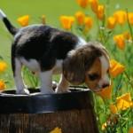 caine beagle-primavara