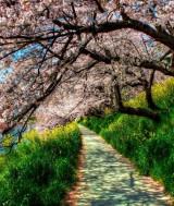 copaci_infloriti_primavara-1280x800