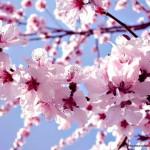 pomi-cu-flori-de-primavara-1_8928e897199530 (1)