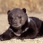 pui-de-urs-grizzly