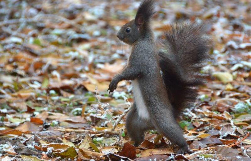 veverita-herastrau-squirrel-20-465x390 evz ro