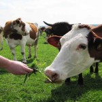 crescatorii-de-bovine-7259