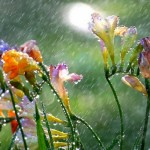 freesia_in_the_spring_rain_wallpaper_56921000
