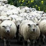 sheep-615x330