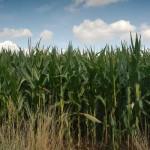 fisa-tehnologica-cultivarea-porumbului-14229