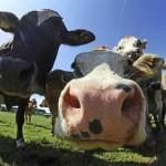 bovinele-vor-fi-vaccinate-impotriva-bolii-limbii-albastre-18492241