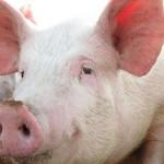 pesta-porcina-africana-distruge-fermele-din-rusia-11175