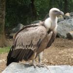 vultur-sur1