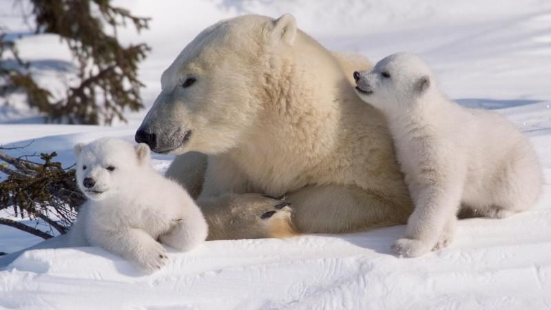 Foto: polarbearsinternational.org