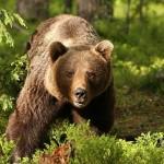 ursul-brun-ursus-arctos-5240