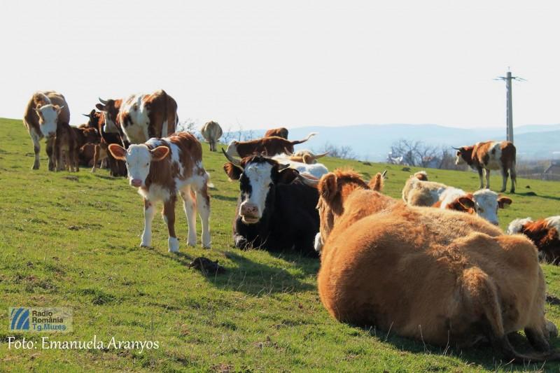 bovina vaca