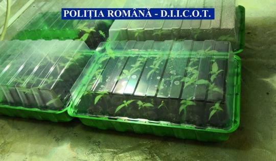 cultura cannabis poltia romana