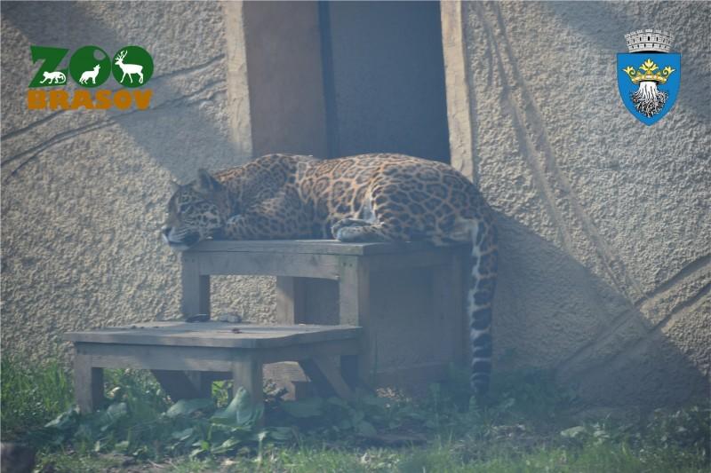 zoo brasov tigru